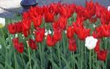 Tulip Festival '10