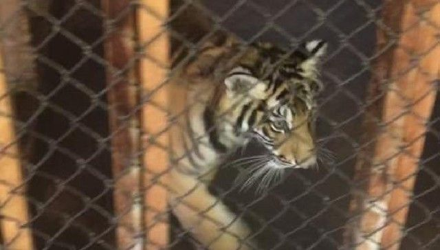 Massillon Washington High School Assused of Discard Live Taiger Cub Mascots s Year After Year   https://www.thedodo.com/high-school-discard-tiger-cubs-971365657.html