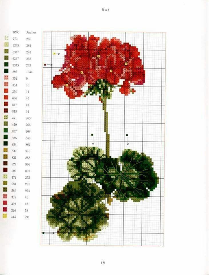 Pelargon Geranium Pelargonium