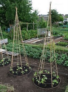bean teepee, don't forget to add some scarlet runner beans for color. I spray paint the teepees in blues and purples, too.