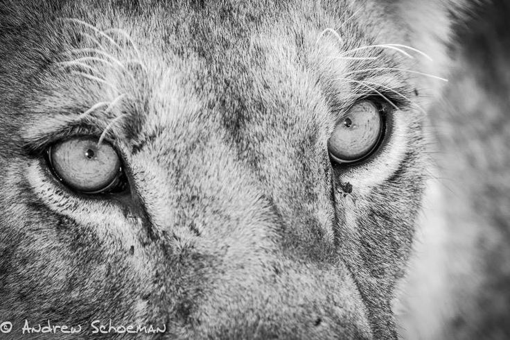 It is an eye which has traveled that is clever - Maasai proverb.  Travel to Kenya?   Credit: http://ow.ly/XtTKd   #Afritrip #Kenya #lion #proverb #travelAfrica