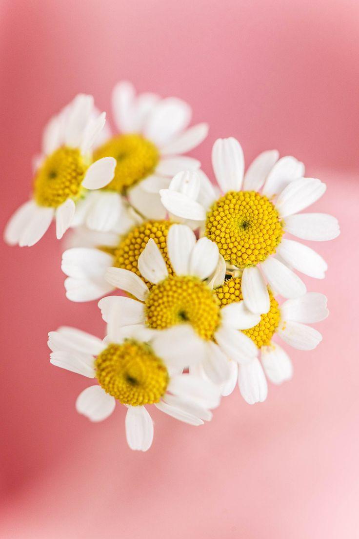 Essbare Blüten: Gänseblümchen für Salate, leckere Vorspeisen oder zur Dekoration