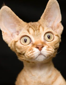 The Devon Rex Cat - Cat Breeds Encyclopedia