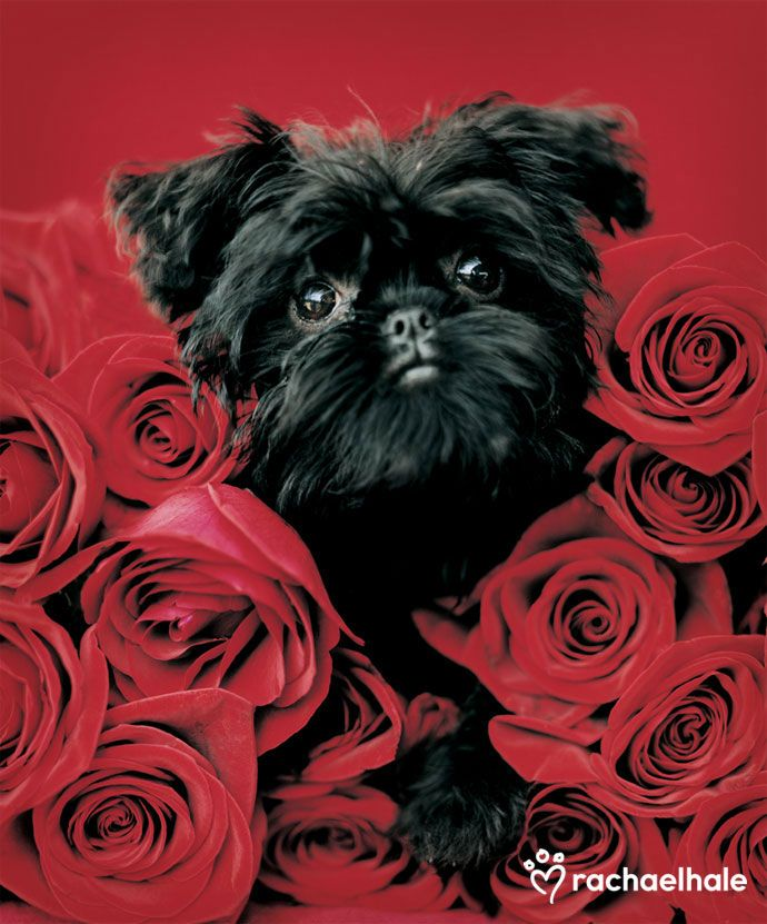 Ziggy (Affenpinscher) - For Ziggy, everything's always coming up roses. Happy Valentine's Day from Pet Assure, The Vet Savings Plan