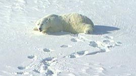 This video from the World Wildlife Fund addresses the primary threat to polar bears in the Arctic today: global warming. Scientists monitor the effects of climate change on the large predator's activities and range, study the bears' physical condition, and explore why the melting of glaciers and reduction of sea ice in the Arctic region may ultimately have dire consequences for the polar bears.