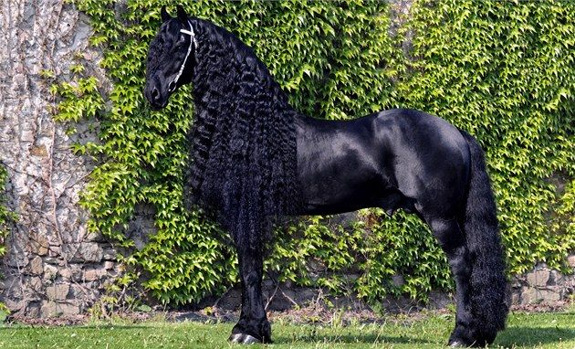 Friesian black horse Baron fan Odingastate, the most beautiful horse Czech Republic | Photo: Pardubice Racecourse