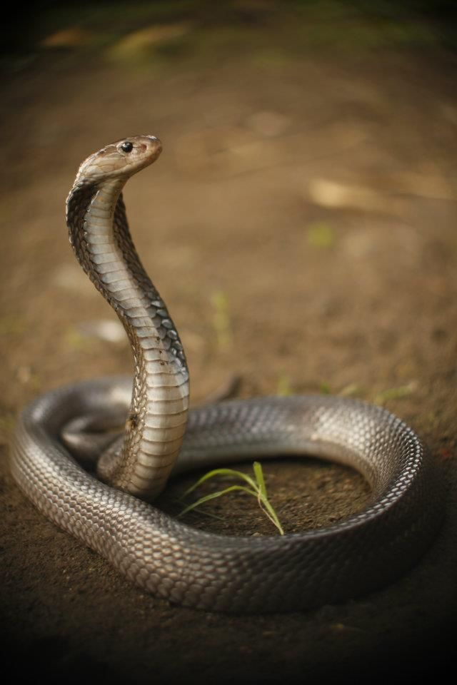 Naja saputatrix (spiting cobra)