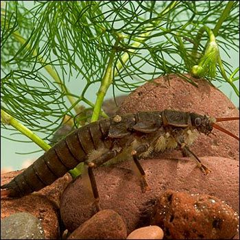 1000 Images About Aquatic Insects On Pinterest Olives