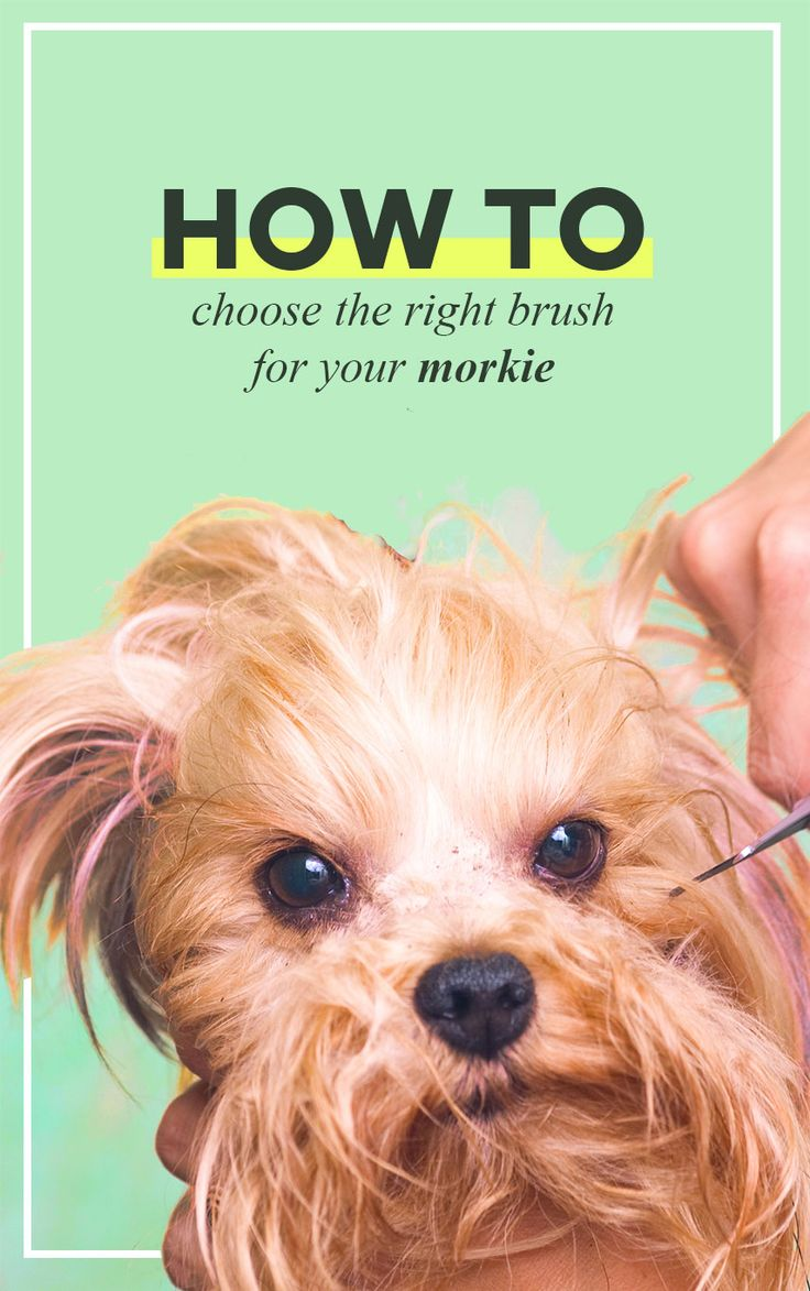 77 best morkie dogs images on pinterest morkie puppies cute walking down the groomers isle at your local pet store can be just as intimidating as shopping for your girl friends tampons or for your husbands nvjuhfo Image collections