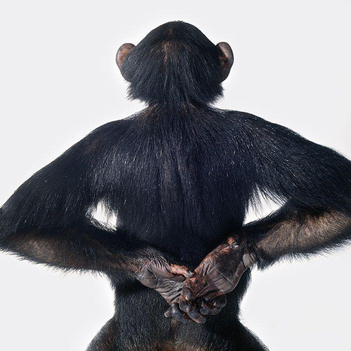 B_Balog_Chimpanzee+back.jpg (700×700) | Chimpanzees for ...