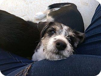 PAGE NOT FOUND - New York, NY - RESCUE DOGS ROCK NYC - Standard Schnauzer Mix. Meet Biscuit, a dog for adoption. http://www.adoptapet.com/pet/16985291-new-york-new-york-standard-schnauzer-mix