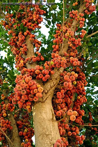 The Fig Trees In Israel
