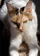 http://www.svpap.com/urgentes.html    NOMBRE: Lily  Hembra  EDAD: 3 años  Pelaje-color:Corto-tricolor clara  Carácter:Cariñosa,juguetona  Comportamiento con gatos:bueno  Muy urgente, Llegó hace casi tres años, ahora espera un hogar está muy constipada, necesita un hogar donde podrá ser feliz,es cronica, ni podemos dejar que que el frio nos la arrebate, anímate, es cariñosa y tranquila.