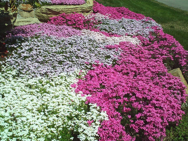 30 best images about Flowers: Creeping Phlox on Pinterest ...