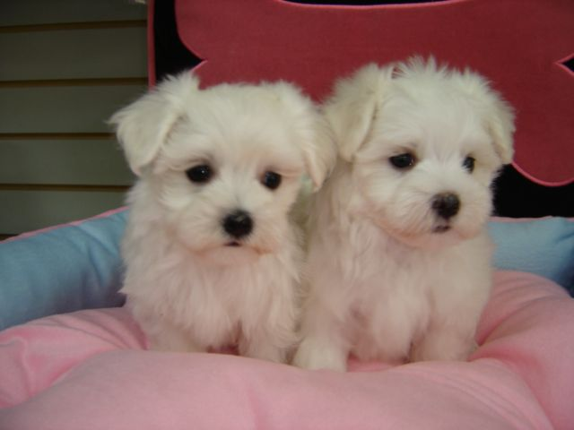 maltese puppies for sale in ma Zoe Fans Blog Cute Baby