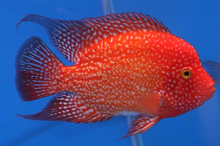 Flowerhorn fish pictures flower horn ryans for Parrot fish freshwater