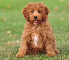 red cavapoo full grown - Google Search