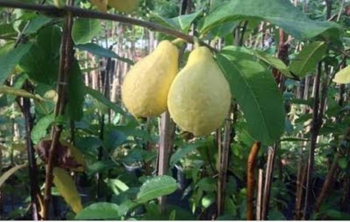فاكهة الجوافة Guava فاكهة الجوافة Guava الاسم العلمي Psidium Guajava L العائلة الآسية Myrtaceae الموطن الأصلي لفاكهة الجوافة In 2020 Plants Guava