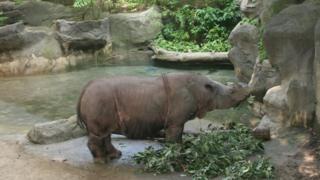 Sumatran rhino hanging on by a thread