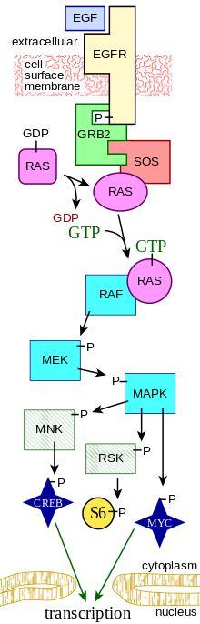 Kinase cascade MAPK/ERK pathway - Wikipedia, the free encyclopedia