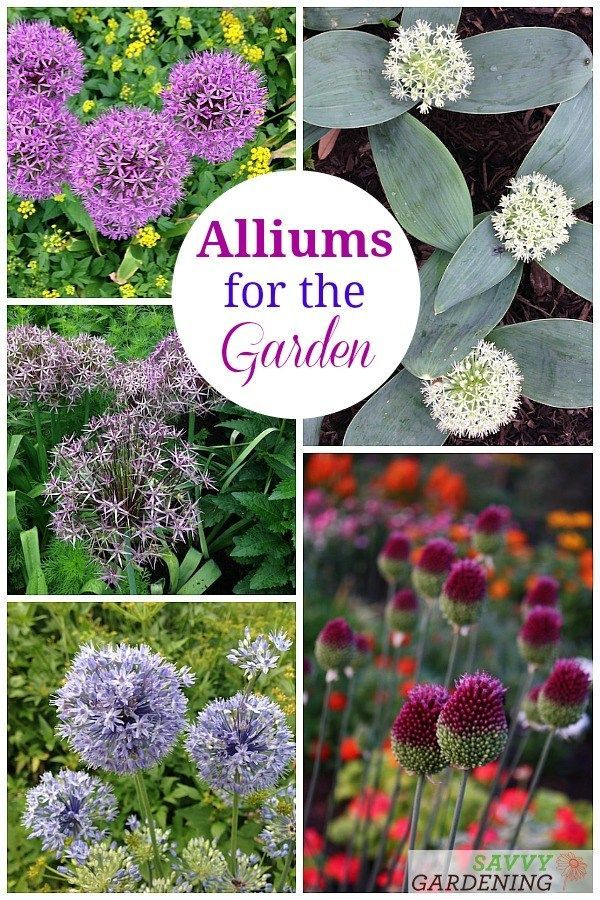 Alliums For The Garden The Best Long Blooming Allium Varieties Planting Bulbs Plants Spring Flowering Bulbs
