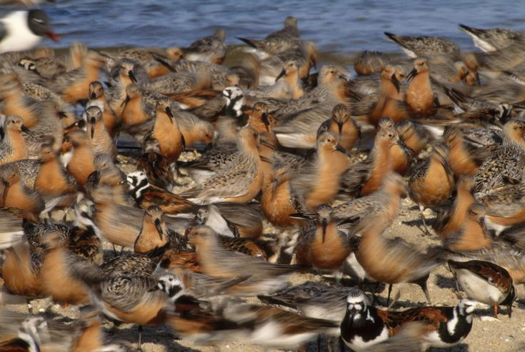 These rust-colored shorebirds have one of the longest migrations in the animal kingdom -- a tremendous feat for a species with just a 20-inch wingspan. They fly over 9,000 miles biannually from their Arctic nesting habitat to wintering grounds in Tierra del Fuego, an archipelago at the southern tip of South America, reports Audubon magazine.