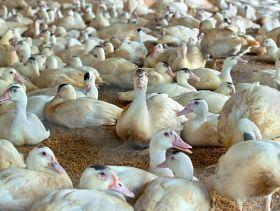 Two Japanese Poultry Farms Find Bird Flu Outbreaks