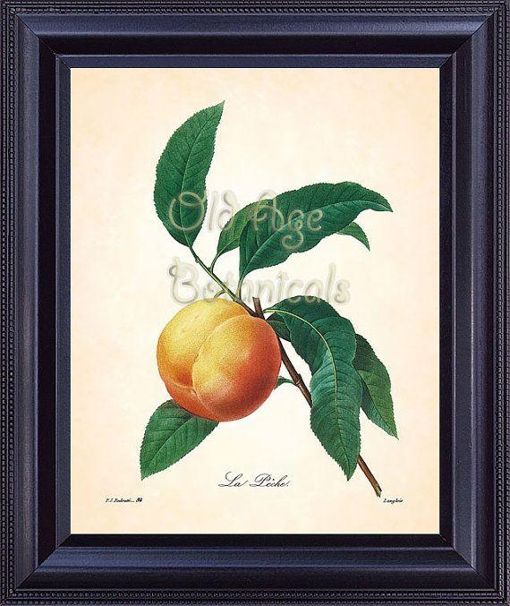 Antique French Fruit Print REDOUTE Large PEACH Yellow Orange 8x10 Art Vintage Botanical Plate 94 Summer Garden Kitchen Wall Decor FV1332