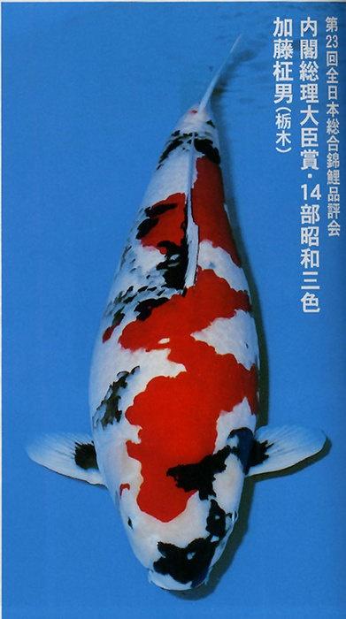 282 best images about koi living art on pinterest for Dainichi koi for sale
