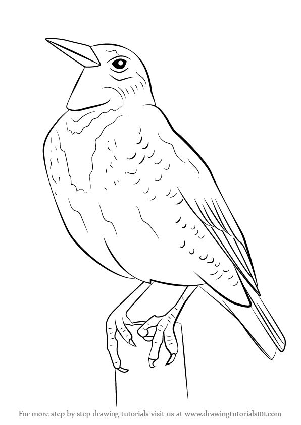 Learn How to Draw a Western Meadowlark (Birds) Step by