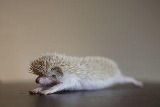 Hedgehog!!Ideas, Albino Hedgehogs, Yoga Love, Hedgehogs Yoga, Stretch Hedgie, Yoga Animal, Hedgehogs Stretch, Baby Hedgehogs, Stretching D