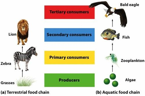 Terrestrial and Aquatic food chain. A simple food chain that links producers and consumers in a linear fashion illustrates how energy and matter move through the trophic levels of an ecosystem.