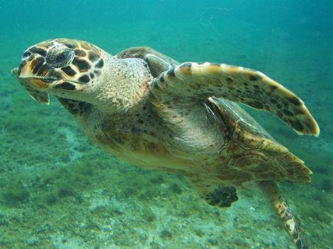 La tortuga de Mapimí está en peligro de extinción en México.