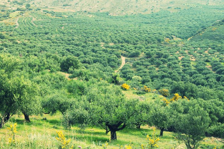 Our family's olive groves in Crete island, at Emparos village.