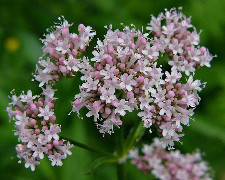 Healing Anxiety Naturally With Herbs...Valerian (Valeriana officinalis)