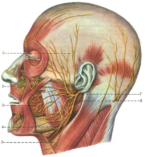 the branches of the facial nerve n. facialis