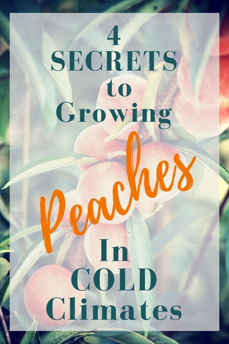Find out secrets that most homesteaders miss when growing peaches in Cold Climates.