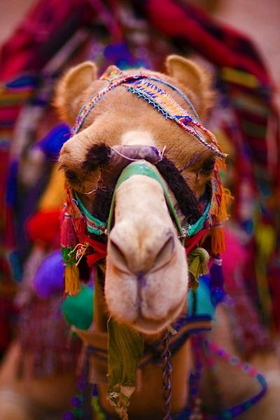 Camel: Colors Camels, Life, Hump Day, Rainbows, Beautiful, Creatures, India, Photography, Animal