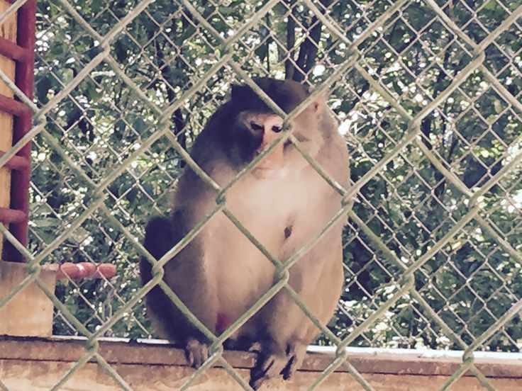 Cornelius The Mystery Monkey is a  proud father at Dade City's Wild ThIngs