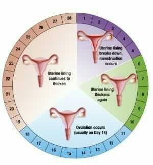 Durante esta fase, el óvulocompleta el proceso de maduración y es trasladado desde el ovario en el que estaba alojado hasta el útero, a través de una de lastrompas de Falopio. Los niveles hormonales aumentan y ayudan a preparar el recubrimiento del útero para elembarazo; por este motivo la mayor probabilidad de embarazo de una mujer es durante los tres días antes de la ovulación o en el mismo día de la ovulación.