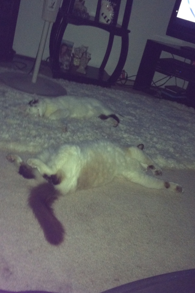 Can you find the white cats on the white carpet?? So cute! Their names are Merlin and Casper, perfect