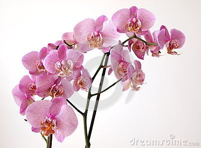 A pink orchid with white background