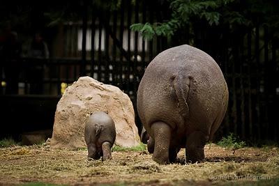New baby hippo in Joburg zoo