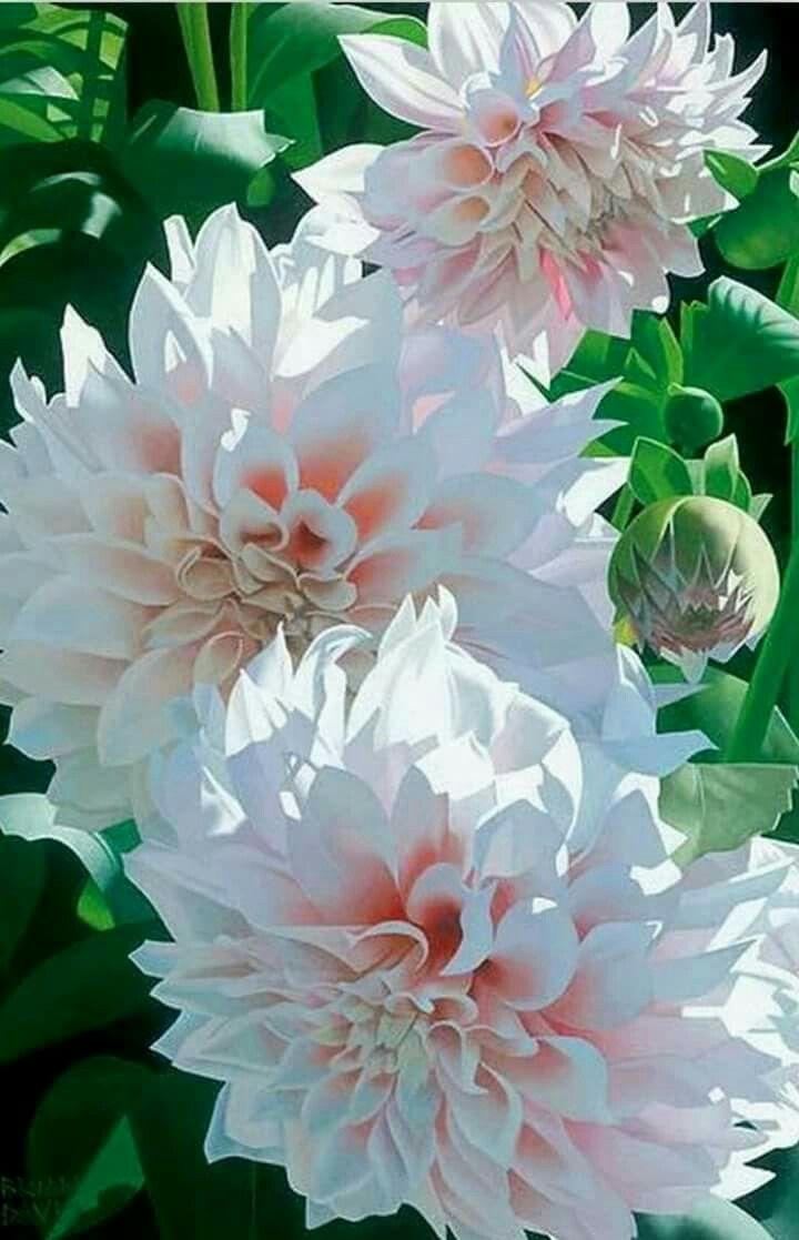 best dahlia images on pinterest dahlia dahlia flower and dahlias