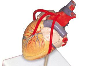 Dr. Christian Barnard performed the first human heart transplant. Great introduction to the heart or exercise unit.