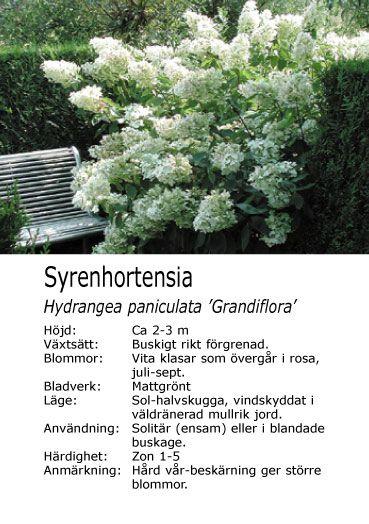 Syrenhortensia