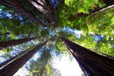 Redwood forest near San Francisco!