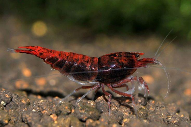 1076 best Garnelen images on Pinterest   Fresh water ...Freshwater Shrimp Pet