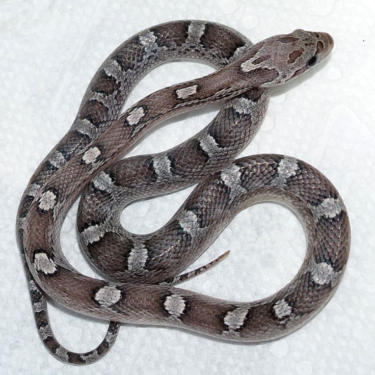 This is Wicked a baby Granite Corn Snake. I named her Wicked because of the scary skull ;ike head markings.