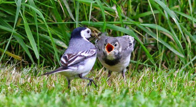 MILOVÁNÍ V PŘÍRODĚ: Život v přírodě. Ptáci. Konipas bílý a krmení hlad...